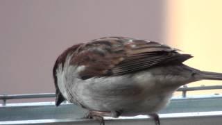 Passerotti Maschio E Femmina Nella Mangiatoia (male And Female Sparrow In The Manger)