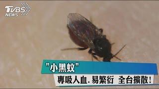 「小黑蚊」專吸人血、易繁衍 全台擴散!