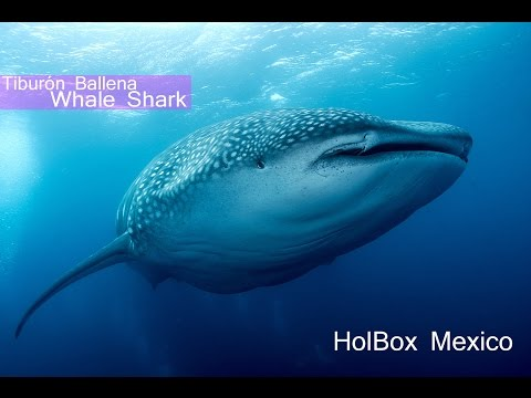 Whale Shark Holbox Mexico