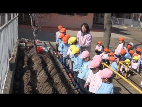 目指せ!幼稚園界のディズニーランド 「じゃがいも植え(年中)」 笠間市 ともべ幼稚園