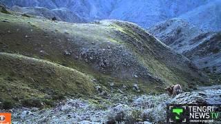 Фотоловушки сняли обитателей Джунгарского Алатау