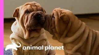 These Wrinkly Shar-Pei Pups Are Learning To Be The Best Guard Dogs!   Too Cute!
