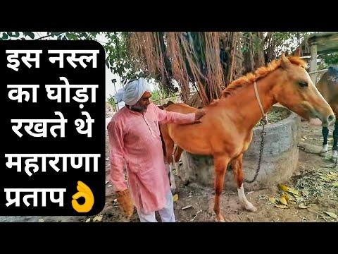 , title : 'दुनिया में सबसे ईमानदार नस्ल काठियावाड़ी घोड़े|Kathiyawadi Horse Breed in India