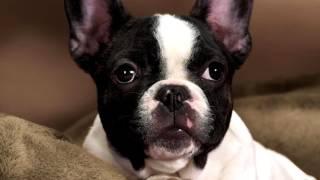 Порода собак. Бостонский терьер. Восхитительный компаньон для людей с самыми разными стилями жизни