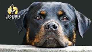 Rottweiler: Obedience Training