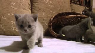 британские кошки, Гарем британца Вовы