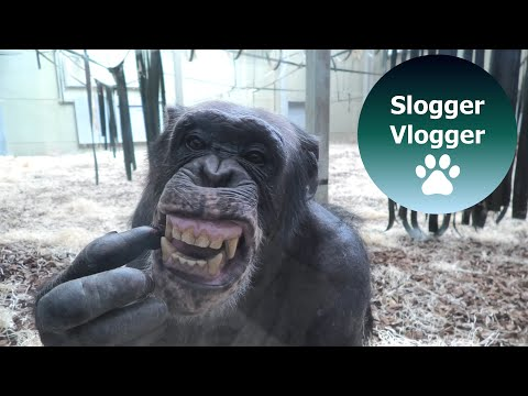 Chimp Checks Teeth And Picks Nose In The Mirror download