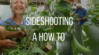 Side-shooting and training cordon tomatoes, cucumber, aubergine undercover