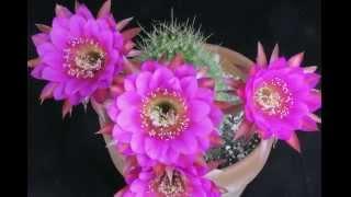 """Anti-Matter"" Echinopsis Hybrid Flowers Opening Time Lapse"