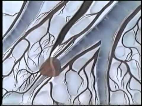 Лямблии и аскариды у человека