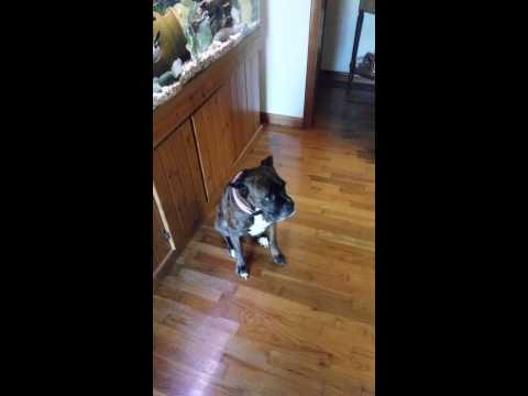 Watch what this boxer does with its big fat butt