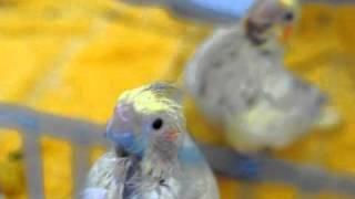 Cockatiel babies - weaning cage PT 1