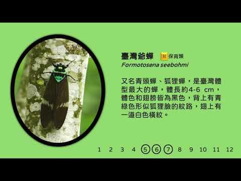 臺灣爺蟬的鳴聲