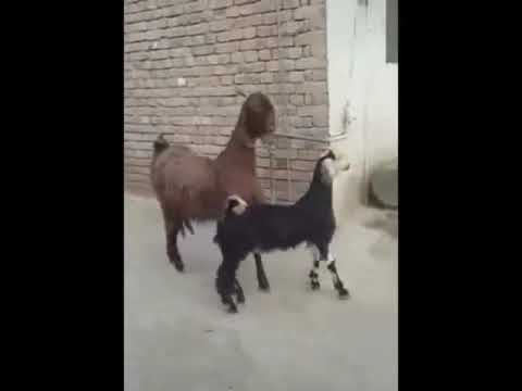 Goats dancing like theres no tomorrow