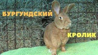 Восемь факторов, чтобы заняться разведением  Бургундских кроликов