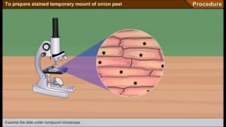 Scienze1_osservazione al microscopio ottico delle cellule di una cipolla