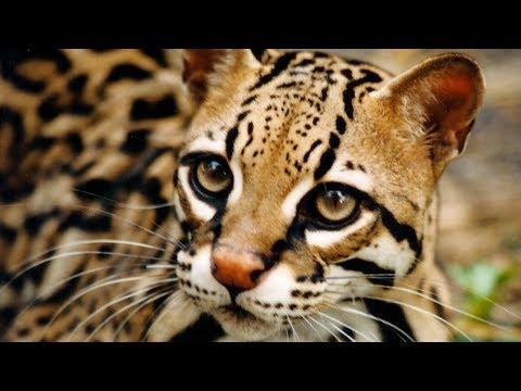 10 Самых дорогих диких кошек