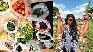 First time Tomatoes onions picking | Storing veggies | FamilyTravelerVLOGS Ep.127 USA TAMIL VLOG