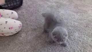 Шотландская вислоухая кошка (моя мечта сбылась) Scottish Fold