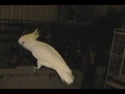 Humor video E-cards, Snowball TM is a Medium Sulphur Crested Eleanora Cockatoo that dances to the Back Street Boys funny humor beautiful animals