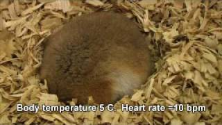Hibernation by Hamsters