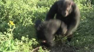 monkeys bangin