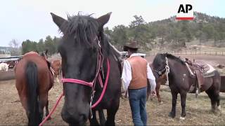 Horse Stables Out West Have Turned To Draft Horses, The Diesels Of The Horse World To Handle The Big