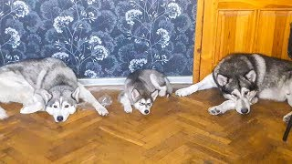 ЖМИ! МАКСИМАЛЬНО МИЛО! собаки хаски и маламуты в ритме сна и схватки