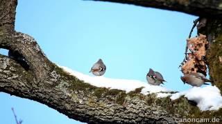preview picture of video 'Seidenschwänze (waxwings) im Nymphenburger Schlosspark München'
