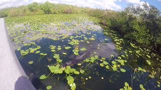 Alligator offers a voluntary encounter