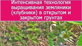 Интенсивная технология выращивания земляники клубники в открытом и закрытом грунтах (06-04-2018)