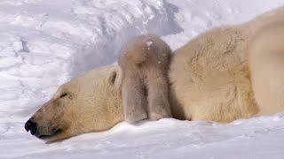 Polar Bear Cubs Take Their First Tentative Steps | Planet Earth | BBC Earth