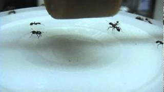 Seeing Fire Ants Smell a Hot Dog (video by B. M. Drees)