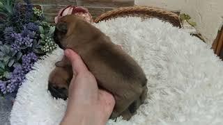 Новорожденные щенки французского бульдога