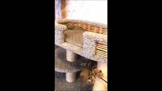 Игривый малыш с великолепным рисованным окрасом! Британские котята питомника Elite British.