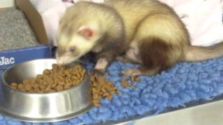 Callan the Ferret Suffers from a Huge Bladder Stone