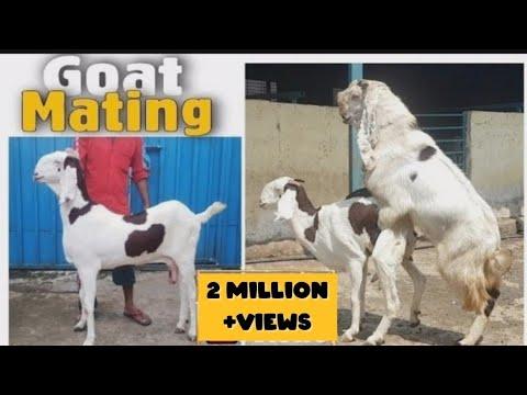 , title : 'Female Goat mating with Hyderabadi Goat STAR Goats FARM Asif STD