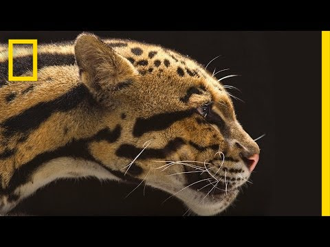 National Geographic Live! - Vincent J. Musi: Big Cats Up Close   Nat Geo Live thumbnail