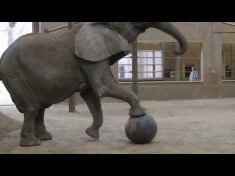 Elephant Enrichment with Renee