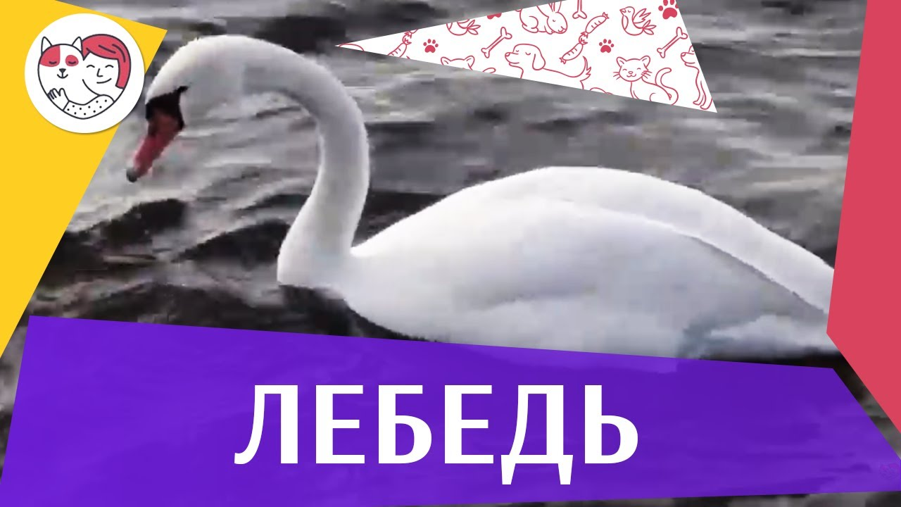 Лебедь на ilikepet
