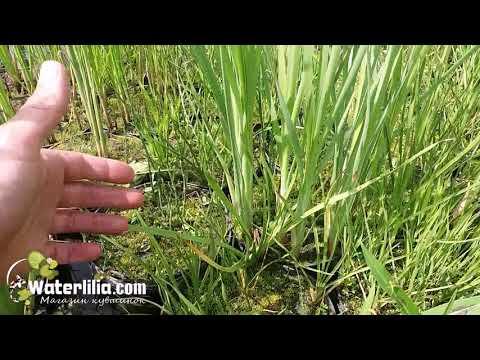 Сусак зонтичный водное растение для пруда