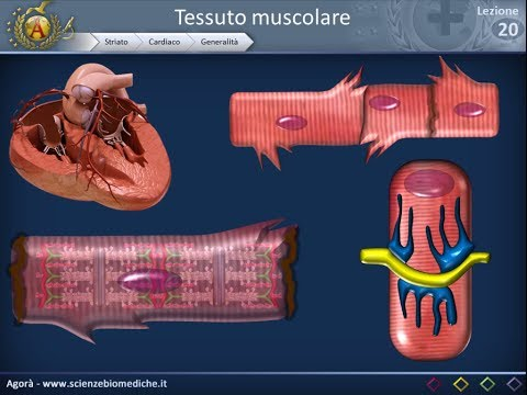 Legamenti tibioperoneale