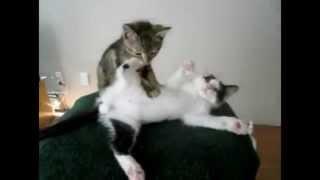 Котёнок массажирует кошку