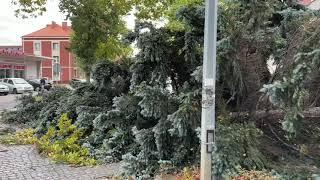 Wideo1: Wiatr przewrócił drzewo na ul. 17 Stycznia w Lesznie