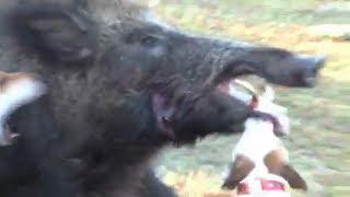 jack russell terrier hunting - मुफ्त ऑनलाइन