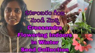 Kanakambaram/ Crossandra from seed   కనకాంబరం । Grow Plants Indoors   Winter Gardening [USA Zone 6]