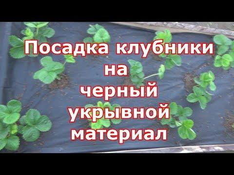 Посадка клубники на черное агроволокно