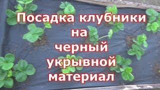 Как правильно посадить клубнику под черный укрывной материал