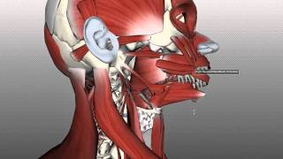 Tongue Muscles and the Hyoid Bone