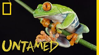 Red-Eyed Tree Frog | Untamed